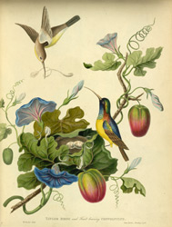 Taylor Birds and Fruit bearing Convolvulus